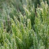 Horsetail herb Stock Photos