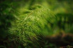 Horsetail i dagget Equisétum Fotografering för Bildbyråer