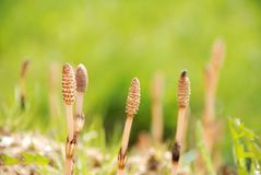 Horsetail Installaties Stock Foto