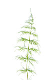 Horsetail isolated on white Royalty Free Stock Photo