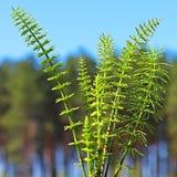 Horsetail oder Ackerschachtelhalm oder Tolkachik (Equisetum arvense) Lizenzfreie Stockfotografie