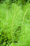 Horsetail. Plant on a green meadow Royalty Free Stock Image