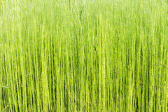 Horsetail plant Stock Images