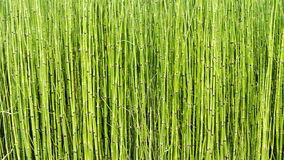 Horsetail plant Royalty Free Stock Image