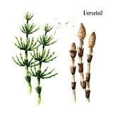 Horsetail plant. Watercolor hand drawn illustration, isolated on white background. stock illustration