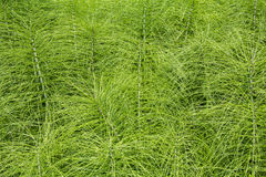 Horsetail plants Royalty Free Stock Photos