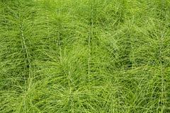 Horsetail rośliny zdjęcia royalty free