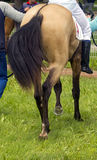 Horsetail. The tail of a akhal-teke horse pictured at the hippodrome stock photography