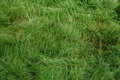 Horsetail verde da floresta do fundo Fundo abstrato, espa?o da c?pia imagens de stock royalty free