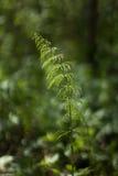 Horsetailfeld im Wald Stockfoto