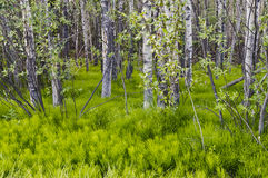 Horsetails в лесе Стоковое Фото