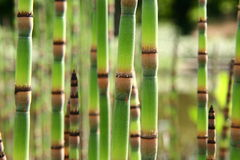 Horsetails Stock Images