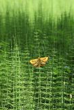 Horsetails and butterfly. Butterfly sat on horsetail in the early morning Royalty Free Stock Photography