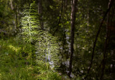 Horsetails by calm water Royalty Free Stock Images