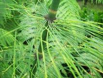 Horsetailväxt med radiella sidor Royaltyfri Bild