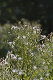 Horseweed Plant Royalty Free Stock Photography