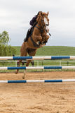 Horsewoman hidden behind a horse's head in high jump Stock Photography