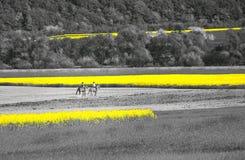 Horsewomen Amongst Oilseed Rape Fields Stock Image