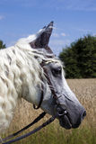 Horsey Face. This image shows a portrait from a arabian horse stock photo