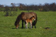 Horsey Mum & Baby,Dartmoor. Pure bred Dartmoor mare & foal, with evidence of swaling in the background Royalty Free Stock Images