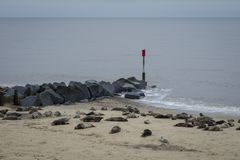 Horsey Seals. Horsey Gap is probably the best place in Norfolk to see the seals in the winter Stock Photo