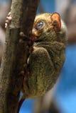 Horsfield более tarsier Стоковая Фотография RF