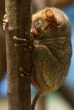Horsfield более tarsier Стоковые Изображения