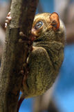 Horsfield's tarsier Royalty Free Stock Photography