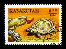 Horsfield, s Tortoise ', gada seria, ci (Agrionemys horsfieldi) Zdjęcia Stock