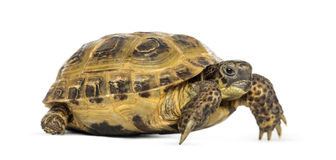 Horsfield's tortoise, Testudo horsfieldii, isolated Royalty Free Stock Images