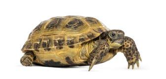 Horsfield tortoise, Testudo horsfieldii, odizolowywający Obrazy Royalty Free