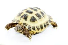 horsfieldi陆龟 库存照片