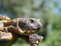 Horsfieldii del testudo della tartaruga del pascolo Immagini Stock Libere da Diritti