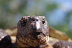 Horsfieldii del testudo della tartaruga del pascolo Fotografia Stock