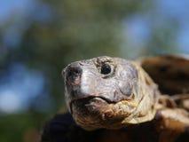 Horsfieldii del testudo della tartaruga del pascolo Fotografie Stock Libere da Diritti