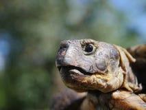 Horsfieldii del testudo della tartaruga del pascolo Immagine Stock