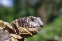 Horsfieldii del testudo della tartaruga del pascolo Fotografia Stock Libera da Diritti