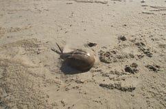 Horshoe krabba på den Windswept stranden royaltyfria foton