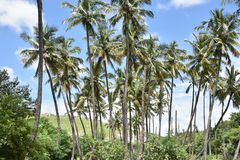 Horsley Hills, Andhra Pradesh, India. Horsley Hills coconut trees landscape, Andhra Pradesh, India Stock Images