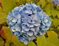 Hortênsia azul após a chuva Imagens de Stock Royalty Free