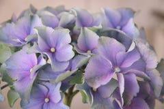 Hortênsia azul de florescência Imagens de Stock