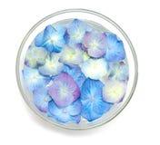 A hortênsia azul floresce em uma bacia de vidro fulled com água Fotografia de Stock