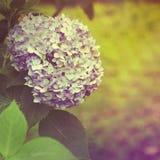 Hortênsia azul no estilo do vintage Imagens de Stock