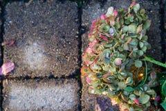 Hortênsia bonita do desvanecimento colocada nas telhas de pedra do pátio; fotos de stock royalty free