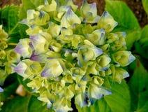 Hortênsia branca com pontas roxas e do azul Fotos de Stock Royalty Free