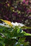 Hortênsia branca na luz solar Fotos de Stock Royalty Free