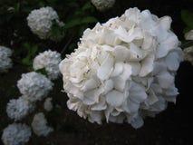 Hortênsia branca no jardim Fotografia de Stock Royalty Free
