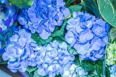 a hortênsia brilhante floresce azul fresco Imagem de Stock Royalty Free