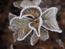 Hortênsia congelada Imagem de Stock
