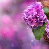 Hortênsia cor-de-rosa fotografia de stock royalty free